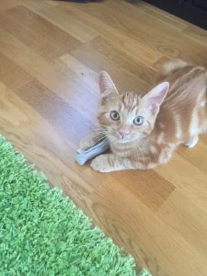 Orange katt, liten kattunge med leksak som ser ut som en fisk. Stolt katt.
