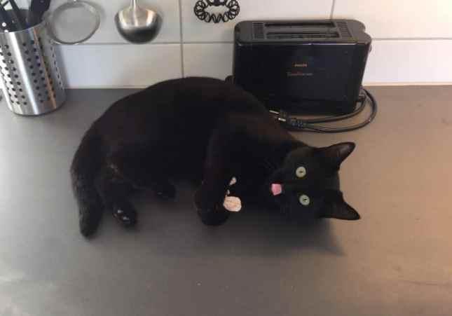 Min svarta katt Finkel leker på bänk med tungan ute