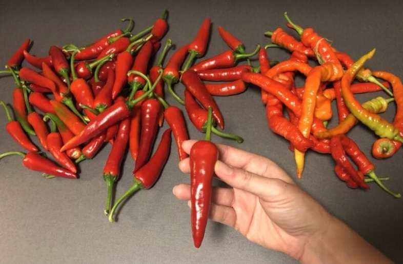 Röd chili