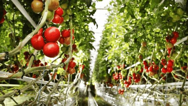 Transition agricole - Tomate Bio
