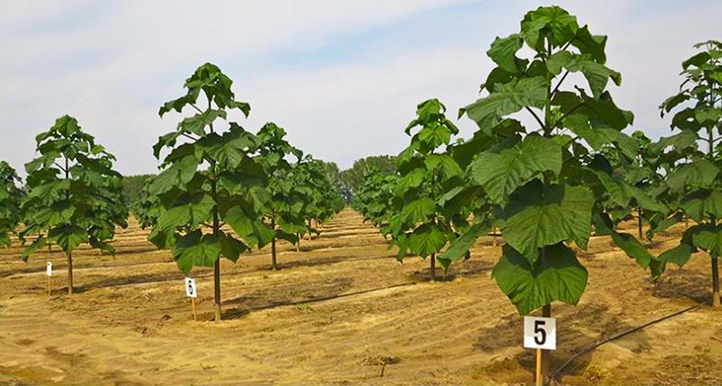 Impulsan En Argentina El Cultivo Del Kiri El árbol Que Frena El