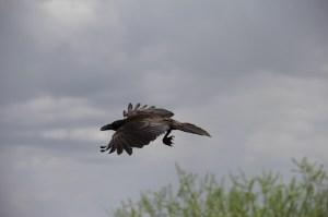 crow-434755_1280