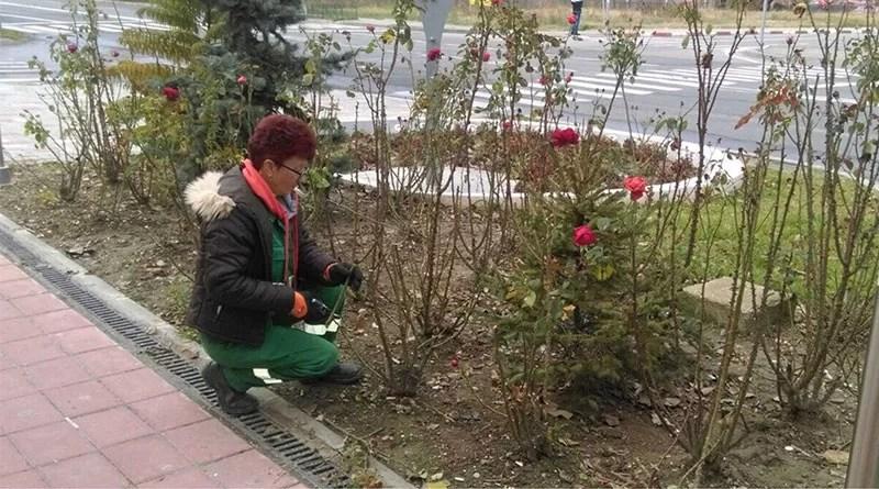 Pregatirea trandafirilor pentru sezonul rece