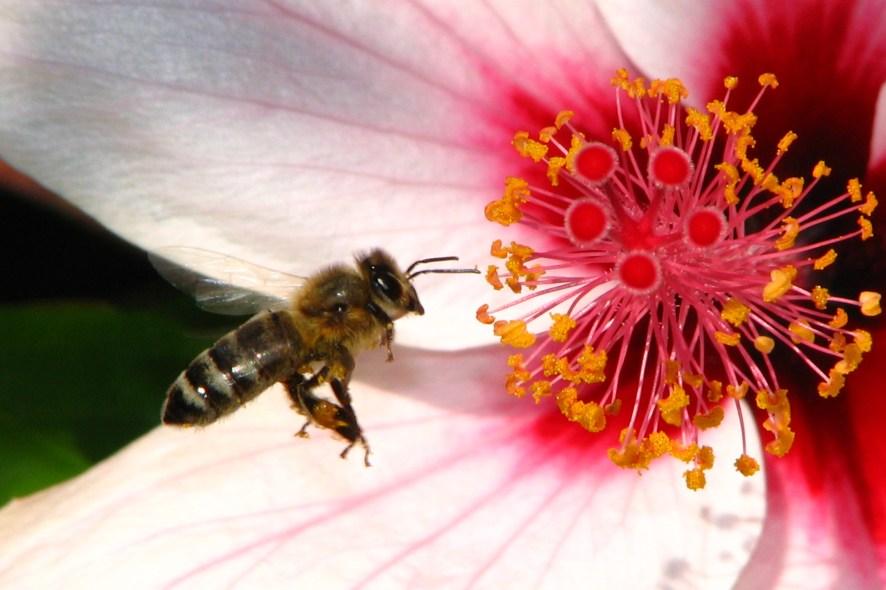 Nærbilde av en bie som går inn for landing på en rødlig hibiskusblomst.