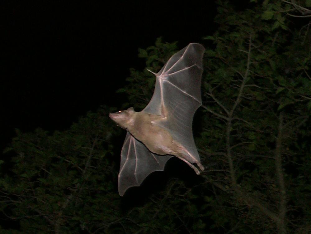 Flaggermus flyr om natten.