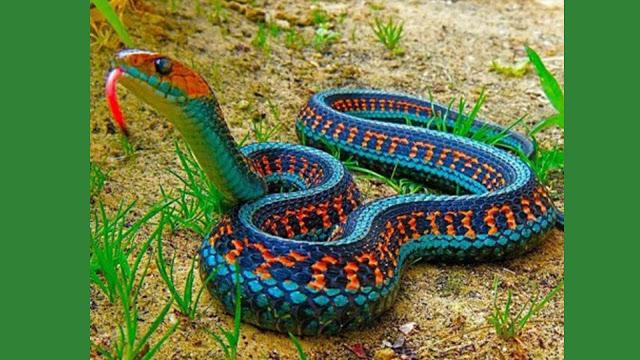 Aparece serpiente en México ''extinta'' desde hace 80 años (VIDEO).
