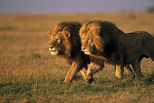 leones d.jpg