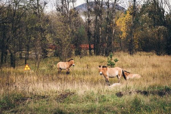 Лошади Пржевальского в зоне отчуждения Фото Майкла Коеттера, Flickr