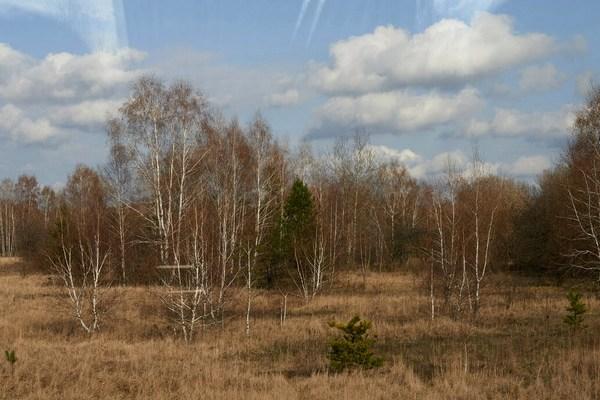Рыжий лес — одно из самых загрязнённых мест в зоне отчуждения Фото Getty