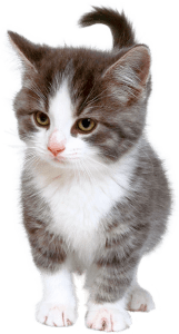 Как лечить эндометрит у кошки. Эндометрит у кошки