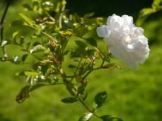 Den rose white form