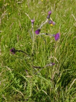 Marsh thistle