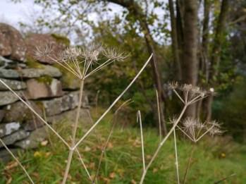 dry hogweed