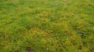 Rhytidiadelphus squarrosus lawn
