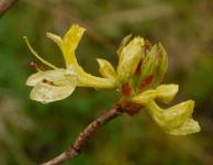 Yellow azalea getting going