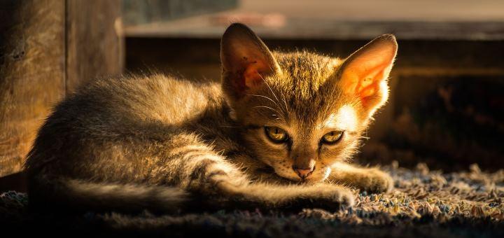 Лежащий котенок