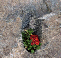 Tiny flowers sheltering in a rock