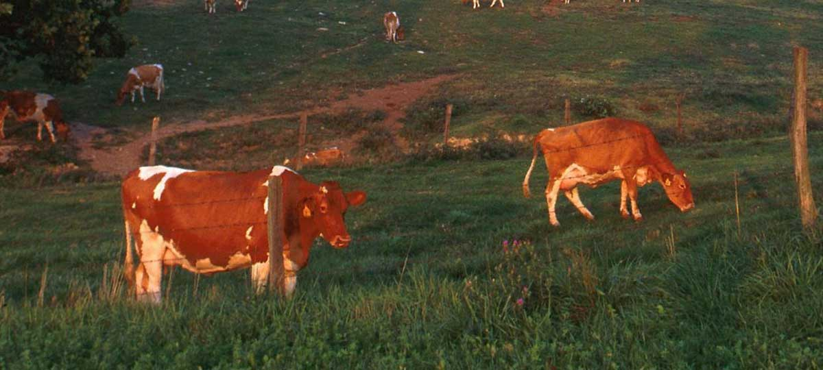 Chocolate Milk Does Come from Brown Cows