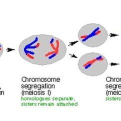 Simple Diagram Of Meiosis Apexi Power Meter Wiring Genetics Stuff