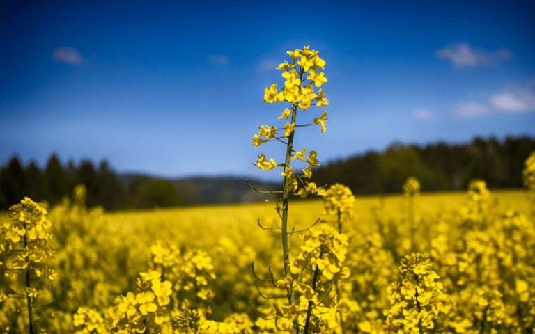 Picture of rapeseed plant