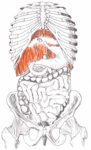 内臓・横隔膜
