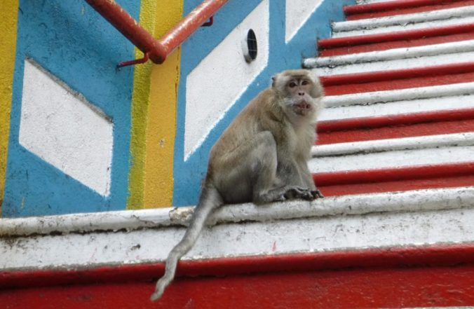 A macaque monkey on the steps to Batu Caves in Malaysia.