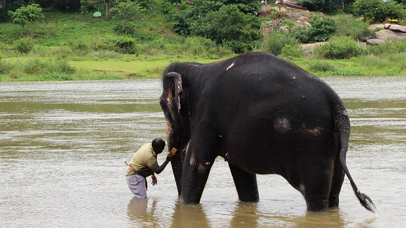 Lakshmi, the temple elephant of Virupaksha temple takes a bath every morning in the river in Hampi.