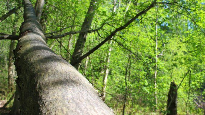 Microadventure ideas. A slanted tree trunk growing in Jyväskylä Tourujoki nature trail. / Puunrunko Tourujoen kävelyreitillä.