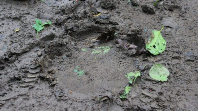 A big tiger footprint on mud in Chitwan National Park, Nepal. Spotted during a walking tour of Chitwan.