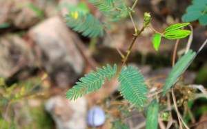 Folding plant leaves in Angkor. Mimosa pubica in the ruins of Angkor, Cambodia.