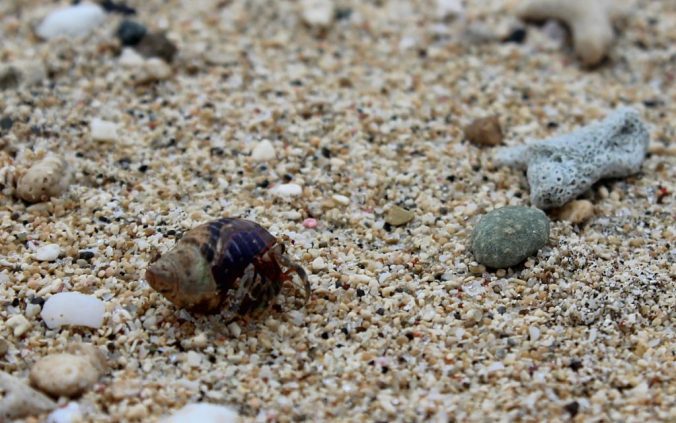 A tiny crab on a beach in Fiji.