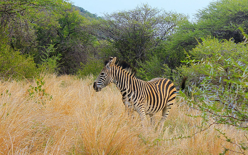 A zebra standing near bushes in Mokopane Game Breeding Center, Limpopo, South Africa.