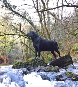 A black labrador dog on a stream. How to travel with a dog in Europe.