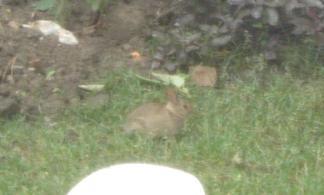 Backgard Bunny 2010