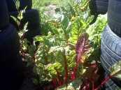 Spinach in the Winter garden