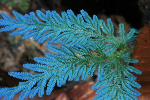 Tumbuhan Pakupakuan Pteridophyta  de Biology
