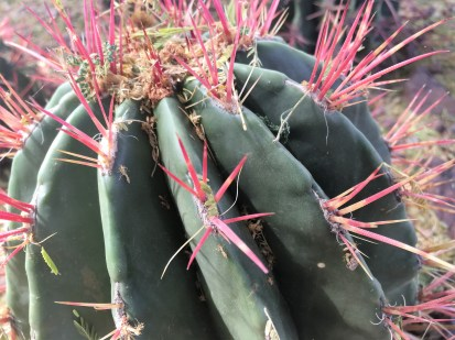 A cactus with red spindles at the Desert Botanical Garden: taken by Alexandra Wolfe