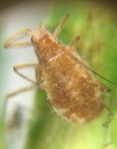 aphid4