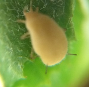 aphid6