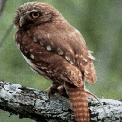 pygmy owls and property