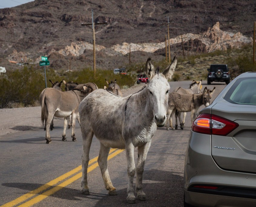 Oatman Burros. Ghost Towns in Arizona