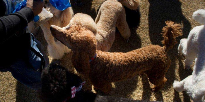 Miniature Poodles Adoption Arizona