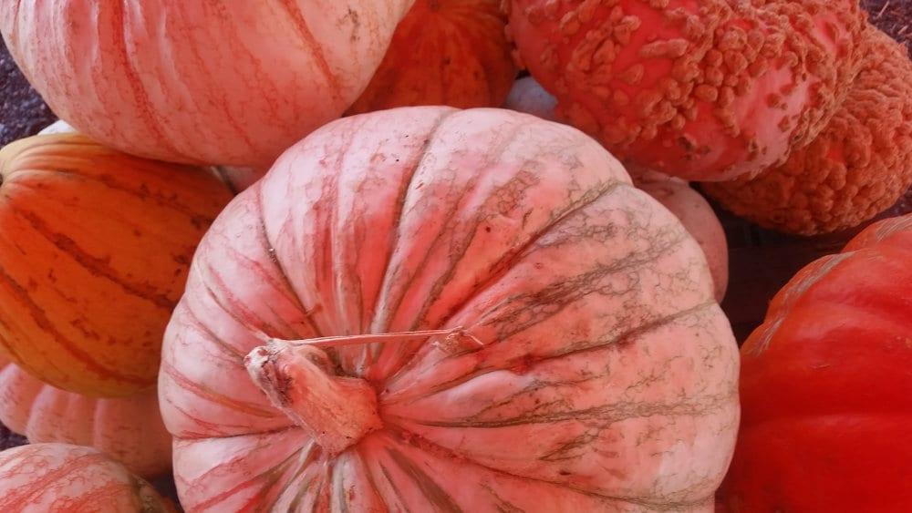 chandler pumpkin patch