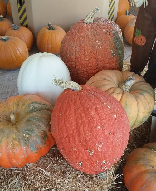 chandler pumpkin patch Inside Tent