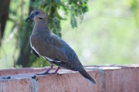 Tucson Backyard Birds