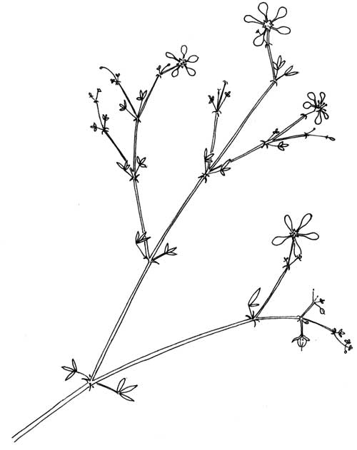 Fagonia in the Sonoran Desert