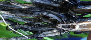 Growth of Opportunistic Fungi Rice Roots