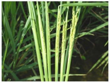 Applying protective fungicides after mid-boot to suppress kernel or false smut is too late