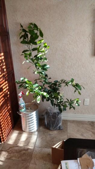 Meyer Lemon Trees