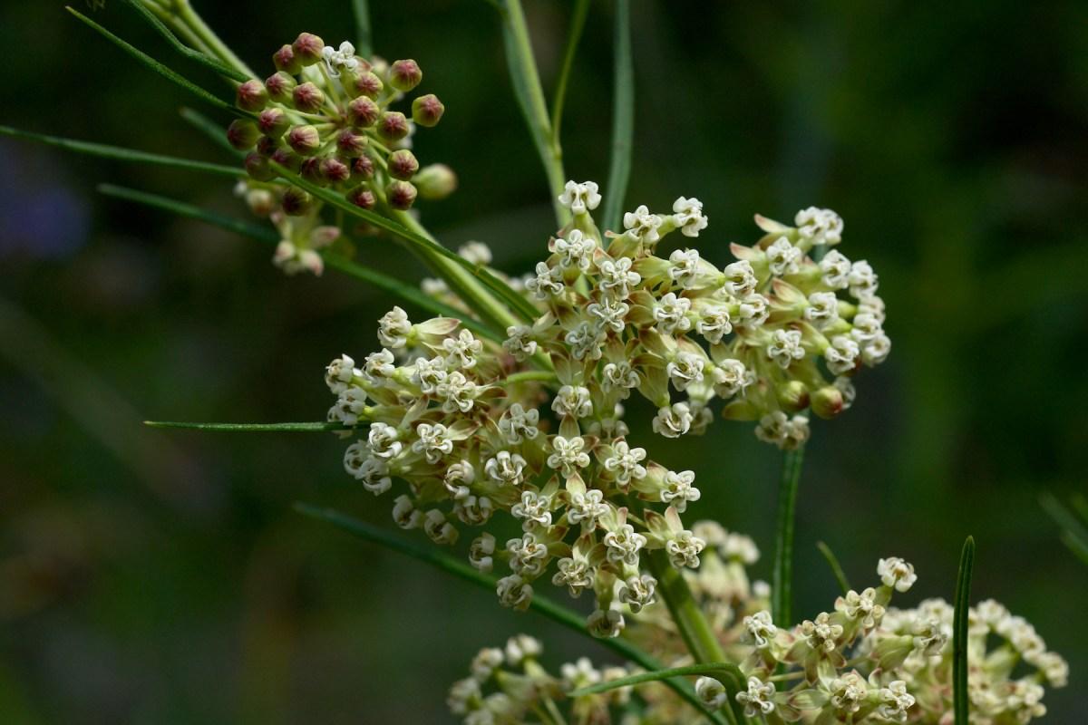 Know Your Natives  Whorled Milkweed  Arkansas Native Plant Society